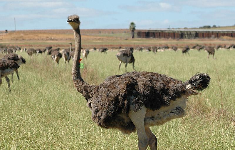 Ostrich Show Farm Oudtshoorn